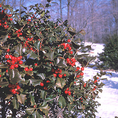 Plant form: Ilex opaca. ~ By John Lynch. ~ Copyright © 2019 New England Wild Flower Society. ~ Image Request, images[at]newenglandwild.org