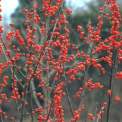 Fruits: Ilex verticillata. ~ By Dorothy Long. ~ Copyright © 2018 New England Wild Flower Society. ~ Image Request, images[at]newenglandwild.org