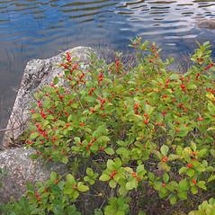 Plant form: Ilex verticillata. ~ By Marilee Lovit. ~ Copyright © 2020 Marilee Lovit. ~ lovitm[at]gmail.com