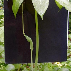 Plant form: Arisaema dracontium. ~ By Janet Novak. ~ Copyright © 2019 Janet Novak. ~ Requests for image use not currently accepted by copyright holder ~ Connecticut Botanical Society - www.ct-botanical-society.org/