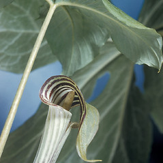 Flowers: Arisaema triphyllum. ~ By Adelaide Pratt. ~ Copyright © 2020 New England Wild Flower Society. ~ Image Request, images[at]newenglandwild.org