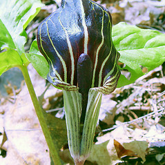 Flowers: Arisaema triphyllum. ~ By Arthur Haines. ~ Copyright © 2020. ~ arthurhaines[at]wildblue.net