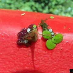 Plant form: Landoltia punctata. ~ By Karan Rawlins. ~ Copyright © 2019 CC BY-NC 3.0. ~  ~ Bugwood - www.bugwood.org/
