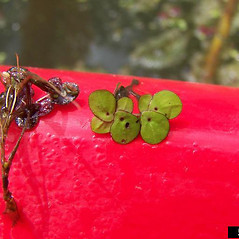 Thalli: Landoltia punctata. ~ By Karan Rawlins. ~ Copyright © 2020 CC BY-NC 3.0. ~  ~ Bugwood - www.bugwood.org/