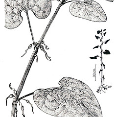 Plant form: Aristolochia clematitis. ~ By New York State Museum. ~ Copyright © 2017 New York State Museum. ~ www.nysm.nysed.gov/imagerequest