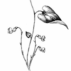 Stems: Endodeca serpentaria. ~ By Southern Illinois University Press. ~ Copyright © 2019 Southern Illinois University Press. ~ Requests for image use not currently accepted by copyright holder ~ Mohlenbrock, Robert H. 1981. The Illustrated Flora of Illinois, Flowering Plants, magnolias to pitcher plants. Southern Illinois U. Press, Carbondale and Edwardsville, IL. 288pp.