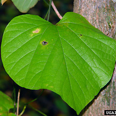 Leaves: Isotrema macrophyllum. ~ By Chris Evans. ~ Copyright © 2019 CC BY-NC 3.0. ~  ~ Bugwood - www.bugwood.org/