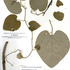 Plant form: Isotrema tomentosum. ~ By CONN Herbarium. ~ Copyright © 2019 CONN Herbarium. ~ Requests for image use not currently accepted by copyright holder ~ U. of Connecticut Herbarium - bgbaseserver.eeb.uconn.edu/