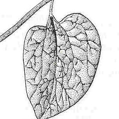 Leaves: Isotrema tomentosum. ~ By New York State Museum. ~ Copyright © 2017 New York State Museum. ~ www.nysm.nysed.gov/imagerequest