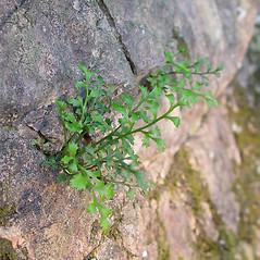 Plant form: Asplenium ruta-muraria. ~ By Arthur Haines. ~ Copyright © 2019. ~ arthurhaines[at]wildblue.net