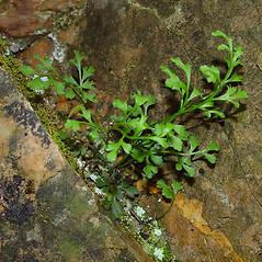 Plant form: Asplenium ruta-muraria. ~ By Arthur Haines. ~ Copyright © 2017. ~ arthurhaines[at]wildblue.net