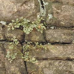 Plant form: Asplenium ruta-muraria. ~ By Arieh Tal. ~ Copyright © 2019 Arieh Tal. ~ http://botphoto.com/ ~ Arieh Tal - botphoto.com