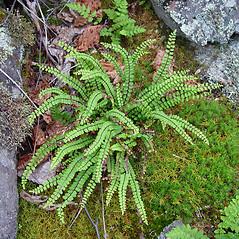 Plant form: Asplenium trichomanes. ~ By Arthur Haines. ~ Copyright © 2019. ~ arthurhaines[at]wildblue.net