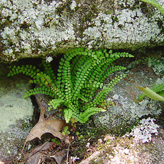 Plant form: Asplenium trichomanes. ~ By Donald Cameron. ~ Copyright © 2020 Donald Cameron. ~ No permission needed for non-commercial uses, with proper credit