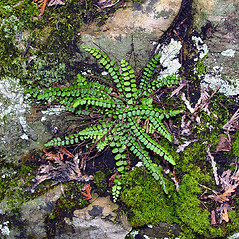 Leaf: Asplenium trichomanes. ~ By Arthur Haines. ~ Copyright © 2019. ~ arthurhaines[at]wildblue.net