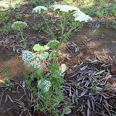 Plant form: Achillea ligustica. ~ By Pancrazio Campagna. ~ Copyright © 2018 Pancrazio Campagna. ~ Requests for image use not currently accepted by copyright holder ~ Acta Plantarum -  www.actaplantarum.org