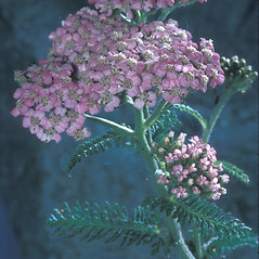Plant form: Achillea millefolium. ~ By Adelaide Pratt. ~ Copyright © 2017 New England Wild Flower Society. ~ Image Request, images[at]newenglandwild.org