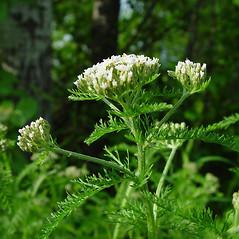 Plant form: Achillea millefolium. ~ By Arthur Haines. ~ Copyright © 2018. ~ arthurhaines[at]wildblue.net