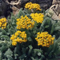 Plant form: Achillea tomentosa. ~  ~ Copyright © 2019. ~