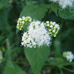 Flowers: Ageratina altissima. ~ By Donald Cameron. ~ Copyright © 2018 Donald Cameron. ~ No permission needed for non-commercial uses, with proper credit