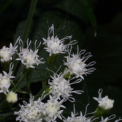 Flowers: Ageratina altissima. ~ By Steven Baskauf. ~ Copyright © 2018 CC-BY-NC-SA. ~  ~ Bioimages - www.cas.vanderbilt.edu/bioimages/frame.htm