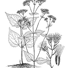 Plant form: Ageratina altissima. ~ By Regina O. Hughes. ~  Public Domain. ~  ~ Reed, C.F. 1970. Selected weeds of the United States. USDA Agric. Res. Ser. Agric. Handbook 336