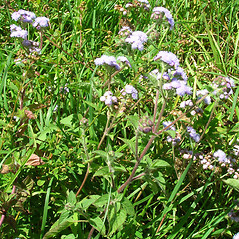 Plant form: Ageratum houstonianum. ~ By Forest & Kim Starr. ~ Copyright © 2018 CC BY-NC 3.0. ~  ~ Bugwood - www.bugwood.org/