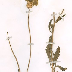 Plant form: Amberboa moschata. ~ By William and Linda Steere and the C.V. Starr Virtual Herbarium. ~ Copyright © 2020 William and Linda Steere and the C.V. Starr Virtual Herbarium. ~ Barbara Thiers, Director; bthiers[at]nybg.org ~ C.V. Starr Herbarium - NY Botanical Gardens