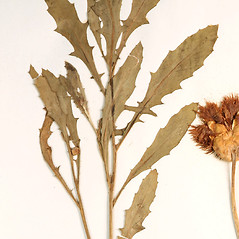 Leaves: Amberboa moschata. ~ By University of Massachusetts Herbarium (MASS). ~ Copyright © 2019 University of Massachusetts Herbarium. ~ University of Massachusetts Herbarium ~ U. of Massachusetts Herbarium