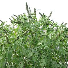 Plant form: Ambrosia artemisiifolia. ~ By Glen Mittelhauser. ~ Copyright © 2018 Glen Mittelhauser. ~ www.mainenaturalhistory.org