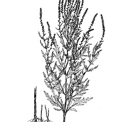 Plant form: Ambrosia psilostachya. ~ By Regina O. Hughes. ~  Public Domain. ~  ~ Reed, C.F. 1970. Selected weeds of the United States. USDA Agric. Res. Ser. Agric. Handbook 336