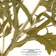 Stems: Ambrosia psilostachya. ~ By CONN Herbarium. ~ Copyright © 2018 CONN Herbarium. ~ Requests for image use not currently accepted by copyright holder ~ U. of Connecticut Herbarium - bgbaseserver.eeb.uconn.edu/