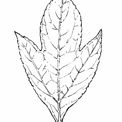 Leaves: Ambrosia trifida. ~ By Gordon Morrison. ~ Copyright © 2018 New England Wild Flower Society. ~ Image Request, images[at]newenglandwild.org