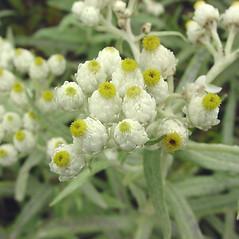 Flowers: Anaphalis margaritacea. ~ By Glen Mittelhauser. ~ Copyright © 2019 Glen Mittelhauser. ~ www.mainenaturalhistory.org