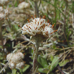 Flowers: Antennaria neglecta. ~ By Arthur Haines. ~ Copyright © 2019. ~ arthurhaines[at]wildblue.net