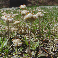 Plant form: Antennaria neglecta. ~ By Arthur Haines. ~ Copyright © 2019. ~ arthurhaines[at]wildblue.net
