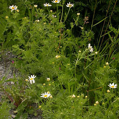Plant form: Anthemis arvensis. ~ By Ben Legler. ~ Copyright © 2019 Ben Legler. ~ mountainmarmot[at]hotmail.com ~ U. of Washington - WTU - Herbarium - biology.burke.washington.edu/herbarium/imagecollection.php