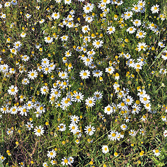 Plant form: Anthemis arvensis. ~ By Robert L. Carr. ~ Copyright © 2017. ~ CheneyBobLin[at]aol.com ~ Flora of Eastern Washington and Adjacent Idaho - web.ewu.edu/ewflora/