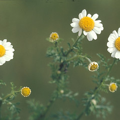 Flowers: Anthemis cotula. ~ By Albert Bussewitz. ~ Copyright © 2020 New England Wild Flower Society. ~ Image Request, images[at]newenglandwild.org