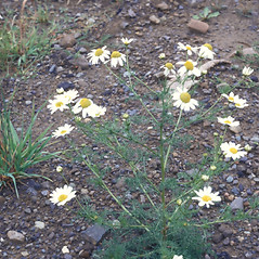 Plant form: Anthemis cotula. ~ By Frank Bramley. ~ Copyright © 2018 New England Wild Flower Society. ~ Image Request, images[at]newenglandwild.org