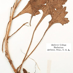 Stems: Arctanthemum arcticum. ~ By Amherst College Herbarium. ~ Copyright © 2017 Amherst College Herbarium. ~ Amherst College Herbarium