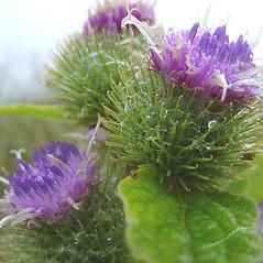 Flowers: Arctium minus. ~ By Glen Mittelhauser. ~ Copyright © 2018 Glen Mittelhauser. ~ www.mainenaturalhistory.org
