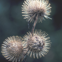 Fruits: Arctium minus. ~ By Albert Bussewitz. ~ Copyright © 2019 New England Wild Flower Society. ~ Image Request, images[at]newenglandwild.org