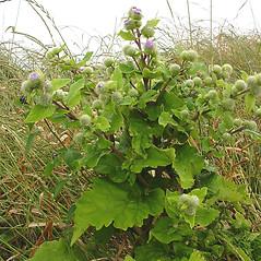 Plant form: Arctium minus. ~ By Glen Mittelhauser. ~ Copyright © 2018 Glen Mittelhauser. ~ www.mainenaturalhistory.org