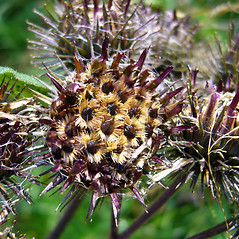 Fruits: Arctium tomentosum. ~ By Zoya Akulova. ~ Copyright © 2017 CC BY-NC 3.0. ~ zakulova[at]yahoo.com ~ CalPhotos - calphotos.berkeley.edu/flora/