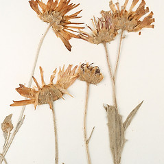 Flowers: Arctotis stoechadifolia. ~ By University of Massachusetts Herbarium (MASS). ~ Copyright © 2020 University of Massachusetts Herbarium. ~ University of Massachusetts Herbarium ~ U. of Massachusetts Herbarium