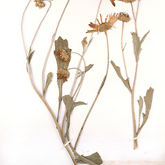Plant form: Arctotis stoechadifolia. ~ By University of Massachusetts Herbarium (MASS). ~ Copyright © 2017 University of Massachusetts Herbarium. ~ University of Massachusetts Herbarium ~ U. of Massachusetts Herbarium