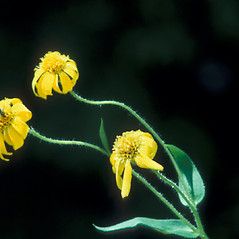 Flowers: Arnica lanceolata. ~ By William Larkin. ~ Copyright © 2017 New England Wild Flower Society. ~ Image Request, images[at]newenglandwild.org