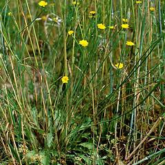 Plant form: Arnoseris minima. ~ By O. Elsner. ~ Copyright © 2019 O. Elsner. ~ BOTANIK IM BILD http:/flora.nhm-wien.ac.at ~ Wien Natural History Museum, Vienna, Austria
