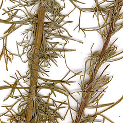 Stems: Artemisia abrotanum. ~ By CONN Herbarium. ~ Copyright © 2019 CONN Herbarium. ~ Requests for image use not currently accepted by copyright holder ~ U. of Connecticut Herbarium - bgbaseserver.eeb.uconn.edu/